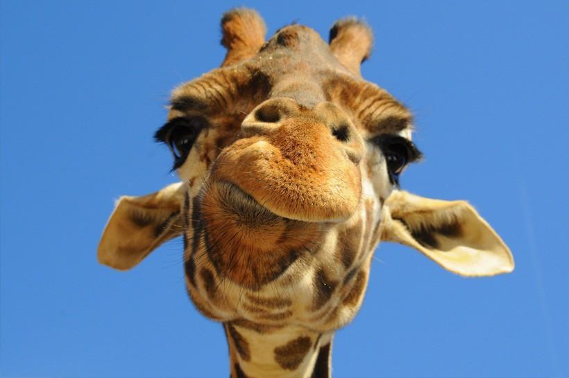 Жираф2.jpg