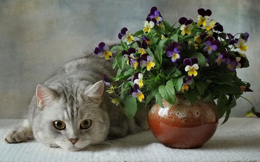 oboi-na-stol.com-241284-zhivotnye-koshki-britanskie-golubye-cvety-anyutiny-glazki-vaza-buket-keramika.jpg